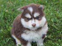 We have litters of pomsky puppies available now! We are