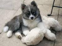 Pomsky puppies available . Pomskies are a hybrid cross