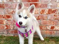 It's that Pomsky (Pomski/Pomskie) puppy time of year