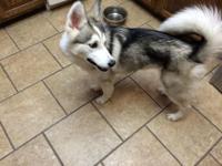 We have a female Pomsky puppy (Pomeranian/husky mix) in