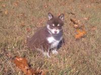 I have one chocolate female Pomsky for sale. She is 6