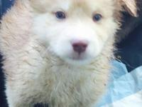 One male POMSKY PUPPY LEFT! Male red and white. Cross