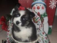 Pomsky pups available to go to their forever homes on
