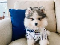 Both mother and father are excellent Pomsky and They