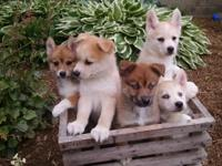 Pomsky puppies!!! We have beautiful pomskys which are a