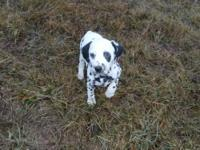 Pongo is an adorable male puppy that has been very well