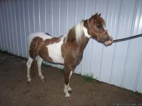 THIS 3 YR OLD GELDING WILL MAKE SOME CHILD A WONDERFUL