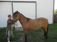 Pony - A805934 - Medium - Adult - Male - Horse