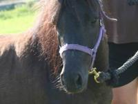 Pony - Champ - Small - Adult - Male - Horse This