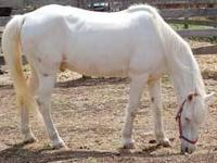Pony - King - Medium - Senior - Male - Horse KING