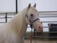 Pony - Lance - Small - Adult - Male - Horse Lance is a