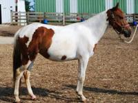 Pony - Louisiana Lady - Small - Young - Female - Horse
