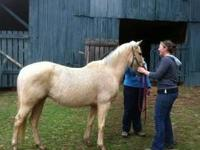 Pony - Miracle - Large - Adult - Female - Horse Miracle
