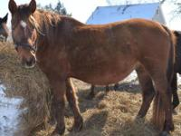 Pony - Roxy - Small - Adult - Female - Horse Roxy is a