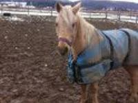 Pony - Titan - Medium - Adult - Male - Horse
