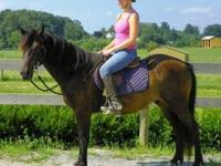 Pony - Isaiah - Small - Young - Male - Horse 8 yr,