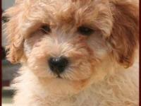 Description: adorable small hypoallergenic poochon