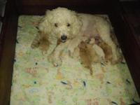 Miniature poodles just born 3 females and 1 male. Looks