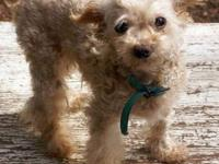 Poodle - A016200 - Small - Adult - Male - Dog