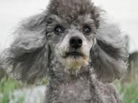 Poodle - A099815 - Small - Adult - Male - Dog