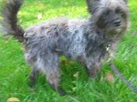 Poodle - Alfie - Small - Young - Male - Dog