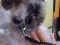 Poodle - Allie - Small - Adult - Female - Dog