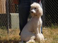 This beautiful St. Poodle puppy is white, and ready to