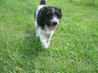 Poodle - Annebelle - Medium - Adult - Female - Dog Hi!