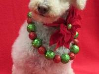 Poodle - Annie - Small - Adult - Female - Dog WE