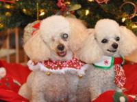 Poodle - Belita - Small - Adult - Female - Dog