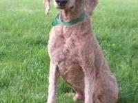 Poodle - Ben - Large - Senior - Male - Dog We here in