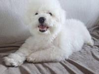 Meet milo. He's a poodle bichon frise mix and is