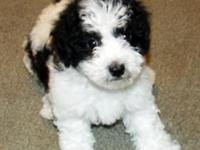 I currently have 5 Poodle mix puppies available.1 male
