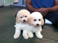 Adorable Male/Female Poodle mixed with Bichon Frise