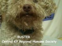Poodle - Buster - Small - Senior - Male - Dog I am