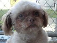 Poodle - Calloway - Small - Adult - Female - Dog
