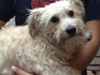 Poodle - Carma - Medium - Adult - Female - Dog Female