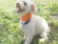 Poodle - Ceasar - Small - Adult - Male - Dog Little