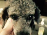 This is a toy poodle. She is almost three years old