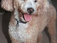Poodle - Cody - Small - Senior - Male - Dog All