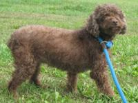 Poodle - Cookie - Small - Adult - Female - Dog Cookie