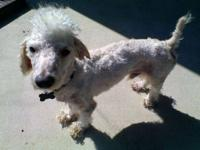 Poodle - Cottyn - Small - Young - Male - Dog Aww. Look