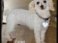 Poodle - Cricket - Small - Adult - Female - Dog DOB: