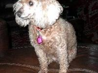 Poodle - Dolores - Small - Young - Female - Dog