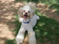 Poodle - Ducky - Small - Adult - Male - Dog JUST DUCKY