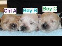This is a litter of Havapoo's!! Mom is Poodle and dad