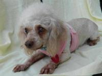 Poodle - Isabella - Small - Adult - Female - Dog