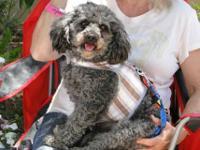 Poodle - Jeremy - Small - Adult - Male - Dog Jeremy can