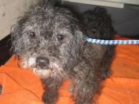 Poodle - Joy - Small - Senior - Female - Dog Come see
