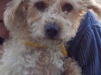 Poodle - Julius - Small - Adult - Male - Dog Julius is
